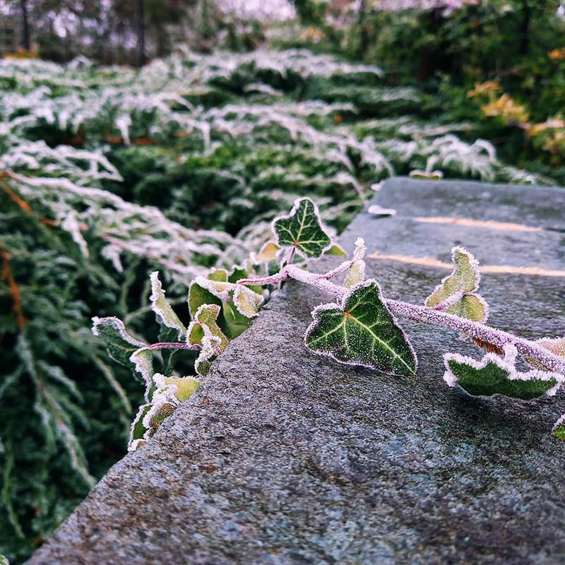 Frozen ivy, Stambourne - Winter 2021