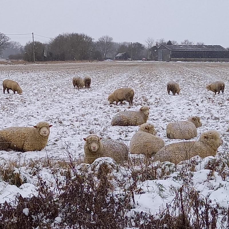 Sheep chilling near Spains Hall, Finchingfield - Winter 2021