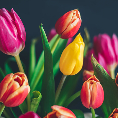 Tulips for sale in Stambourne